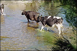 Cows defaecating in the Sherry River before the crossings were bridged