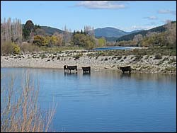 Cows in the Motueka River