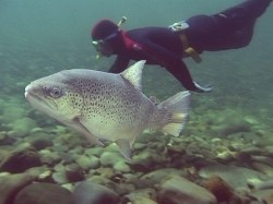 Brown trout and a drift diver